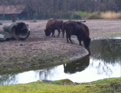 Bisons mit wirklich schönem Gehege